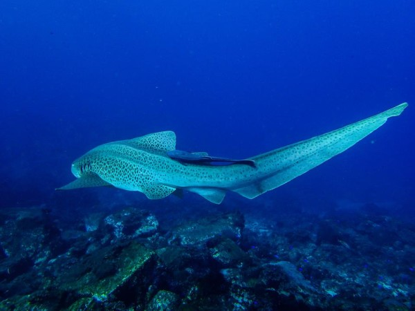 Leopard Shark at South Solitary Island by Jetty Dive