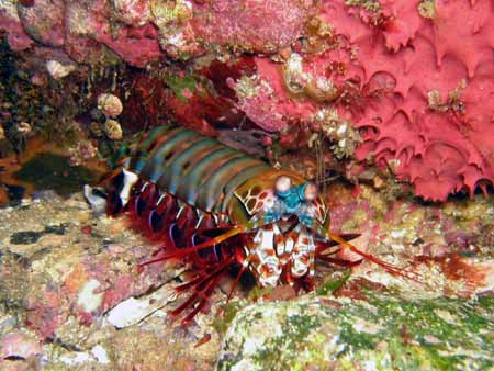 Mantis Shrimp at South Boulder 8th may 2018