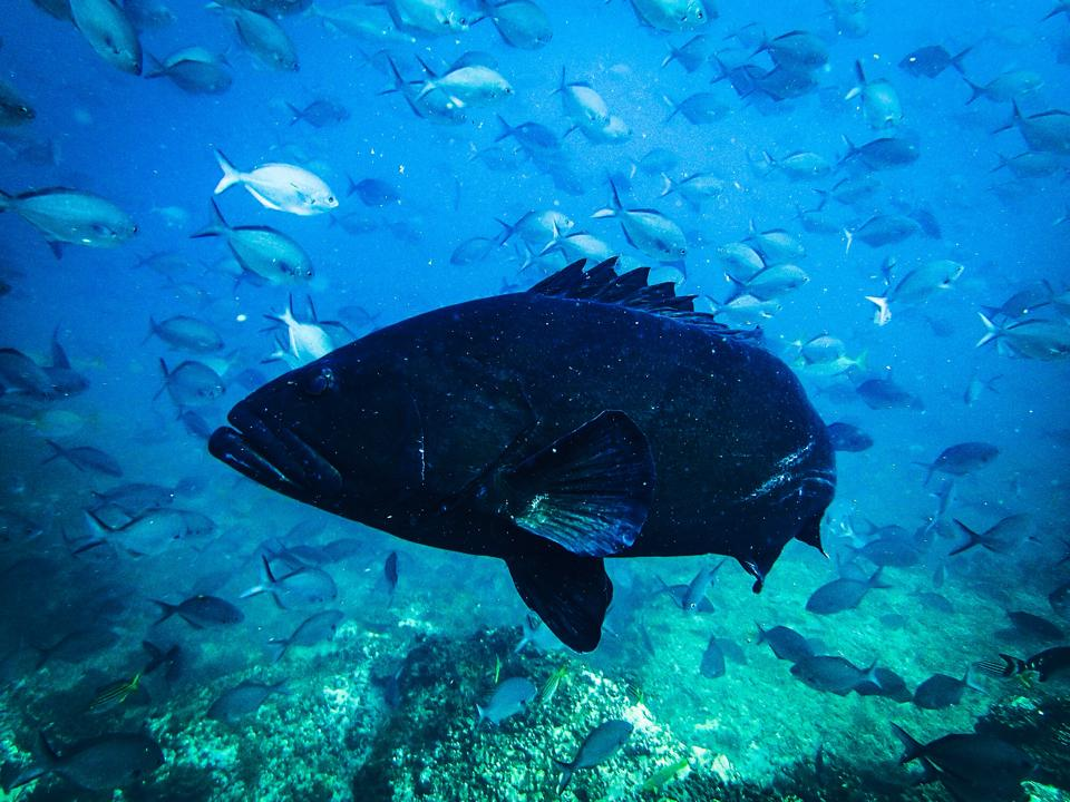 Black Cod at South Solitary Island 22 December 2014 by Jetty Dive