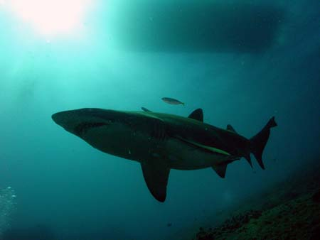 Grey Nurse Shark below Wild Fin