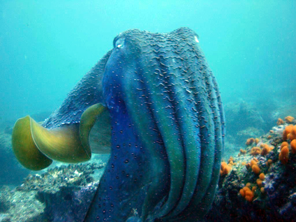 Giant Cuttlefish at South Solitary Island by Jetty Dive