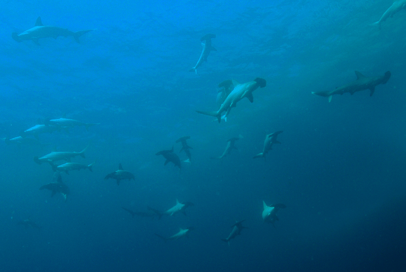 Hammer Head Sharks at South Solitary Island 23 December 2014 by Jetty Dive