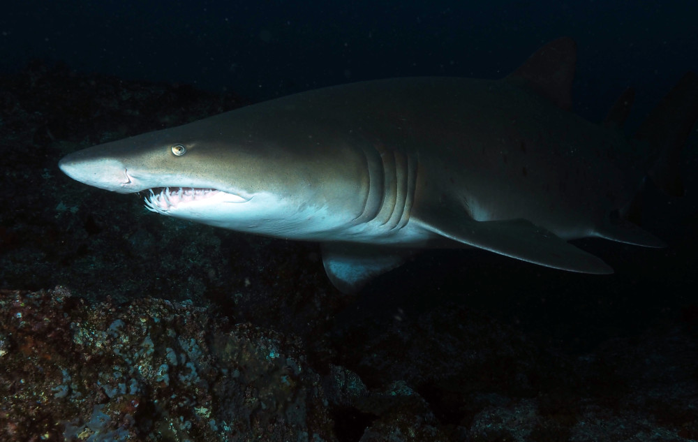 Grey Nurse Shark at South Solitary Island 31 December 2014 by Jetty Dive