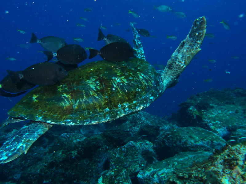 Green Sea Turtle and Surgeon Fish at South Solitary Island