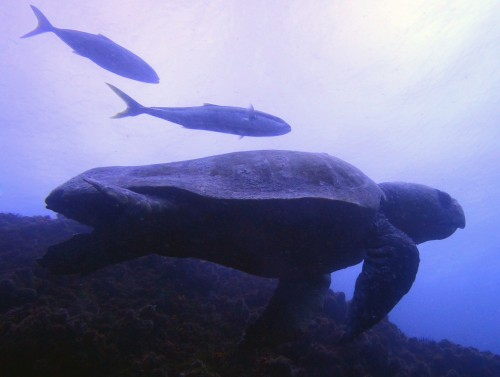 "Loggerhead Turtle ""Barney"" and Kingfish at South Solitary Island by Jetty Dive"