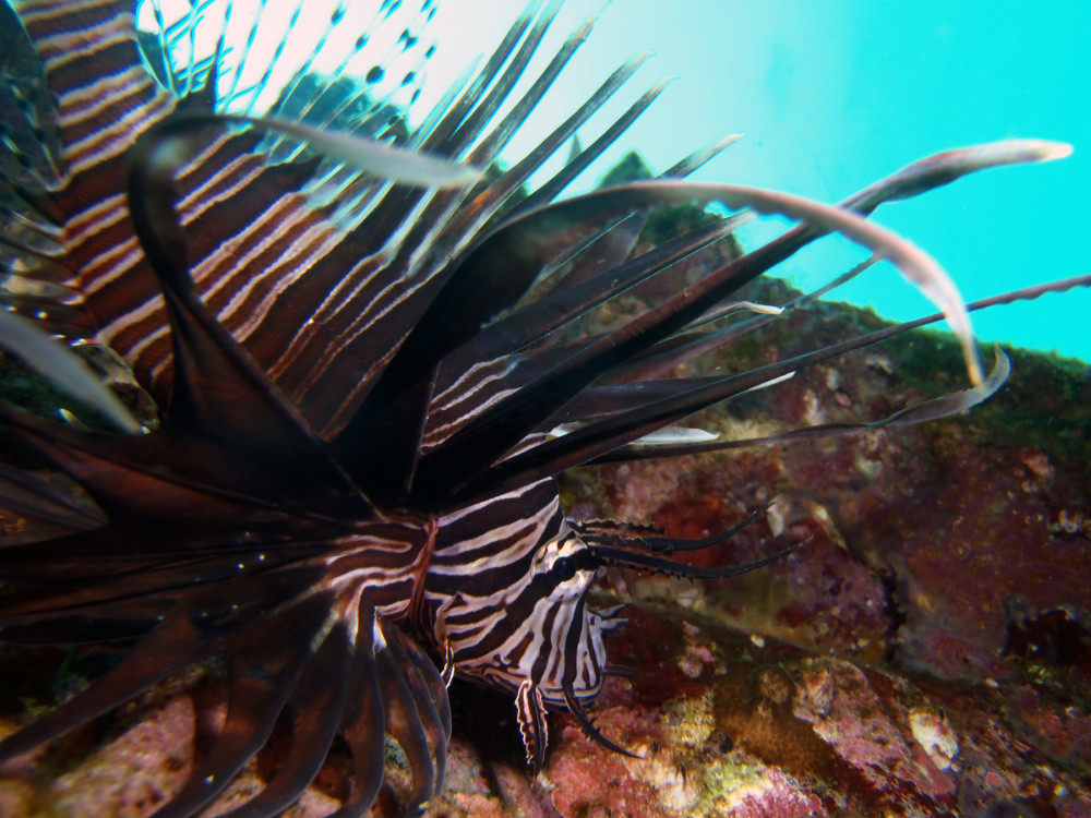 Lionfish at South Solitary Island by Jetty Dive