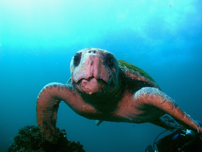 "Loggerhead Turtle ""Barney"" at South Solitary Island by Jetty Dive"