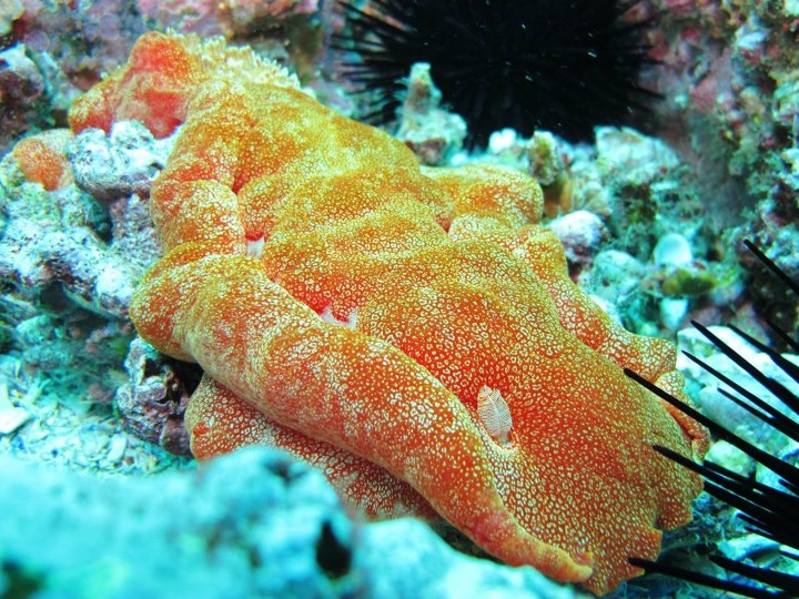 Spanish Dancer South Solitary Island 2 Jan 15 by Jetty Dive
