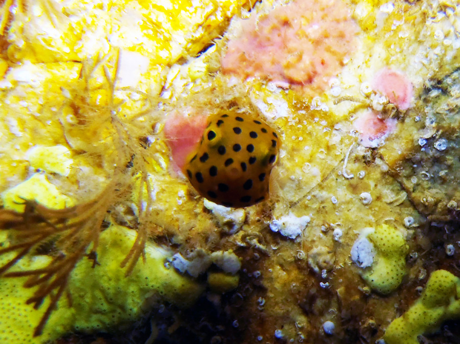 Yellow Boxfish at South Solitary Island by Jetty Dive