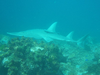 Shovel-nose Ray, South Solitary Island 1 by Jetty Dive 11 Jan 15