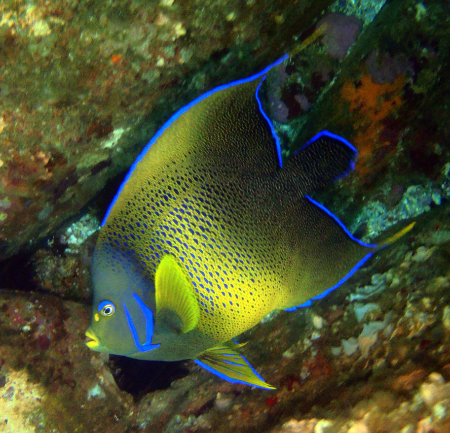 Blue Angelfish at South Solitary Island by Jetty Dive