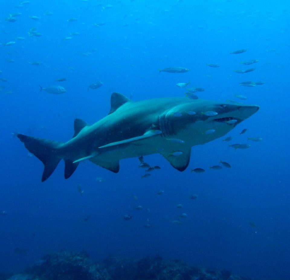 Grey Nurse Shark at South Solitary Island 16 February 2015 by Jetty Dive