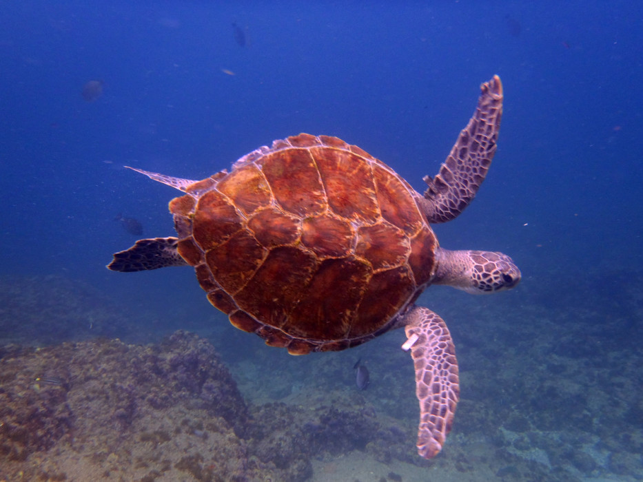 Hawksbill Turtle at South Solitary Island 11 February 2015