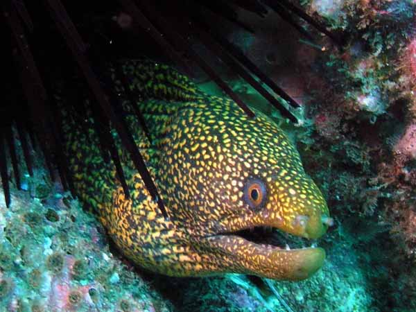 Spotted Moray Eel at South Solitary Island by Jetty Dive