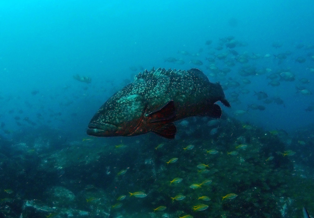 Black Cod at South Solitary Island by Jetty Dive