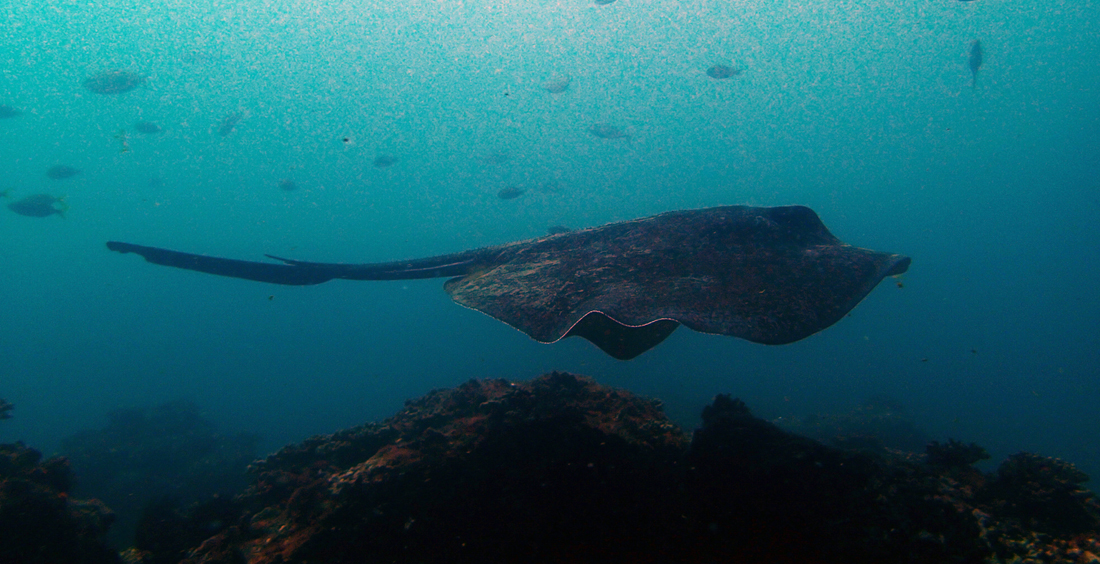 Bull Ray, South Solitary Island by Jetty Dive