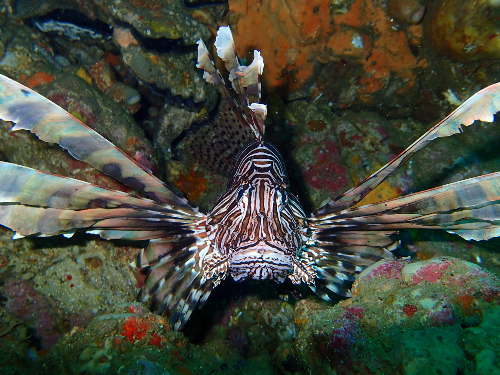 Lionfish at Split Solitary Island by Jetty Dive