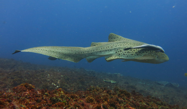 Leopard Shark and Remora, South Solitary Island