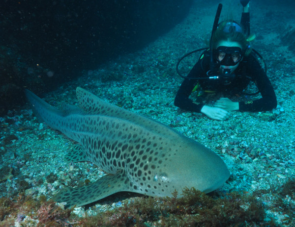 Leopard Shark taken at South Solitary Island, Easter 2015 by Jetty Dive