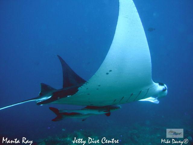 Manta Ray by Jetty Dive