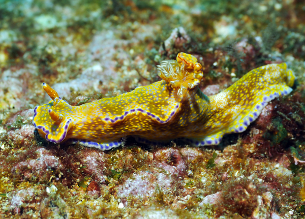 Nudibranch - Ceratosoma tenue by Jetty Dive 7 June 2015