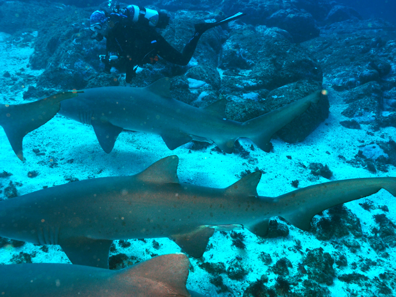 Grey Nurse sharks and Debbie at South Solitary Island 28 June 2015 by Jetty Dive