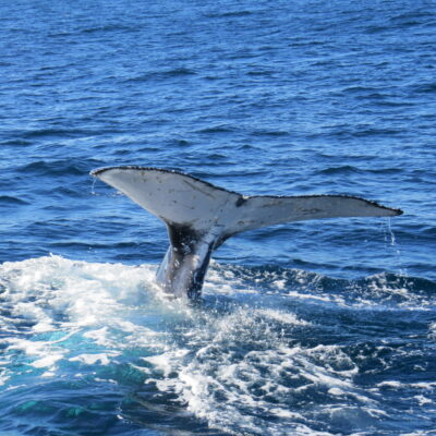 Whale Watch - whale tail 28 June 2015 by Jetty Dive