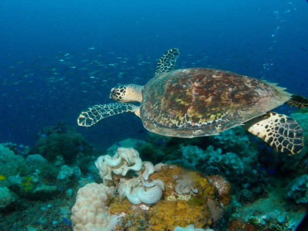 Hawksbill Turtle at Truk Lagoon during the Jetty Dive organised trip June 2015. By Jetty Dive