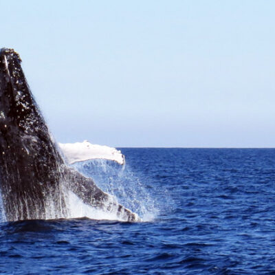 Whale watch - whale breach 18 June 2015 by Jetty Dive