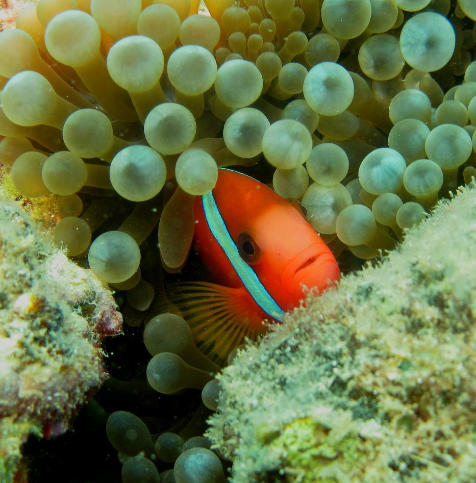Clownfish 6 July 2015 by Jetty Dive