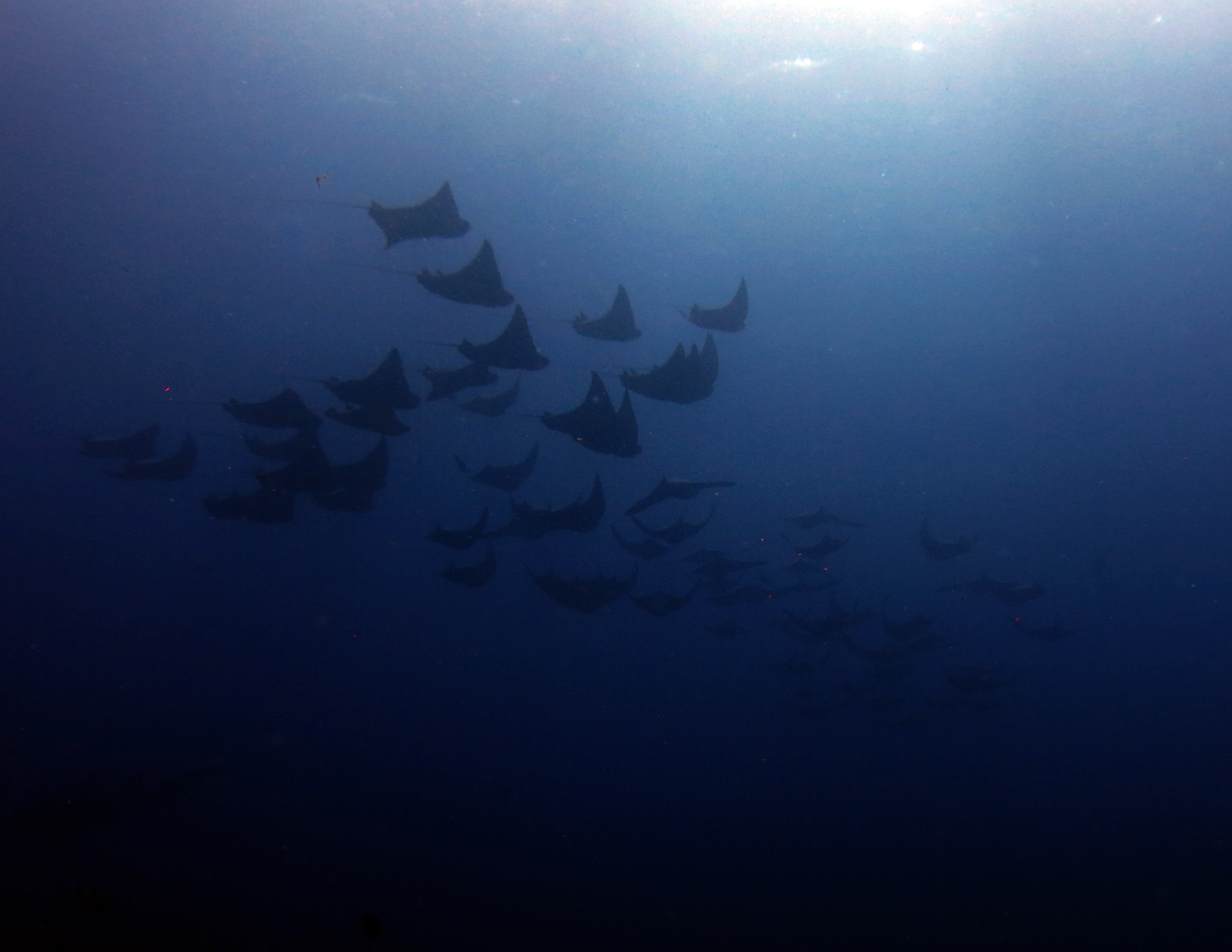 Cownose Rays at Manta Arch, South Solitary Island 2 July 2015 by Jetty Dive