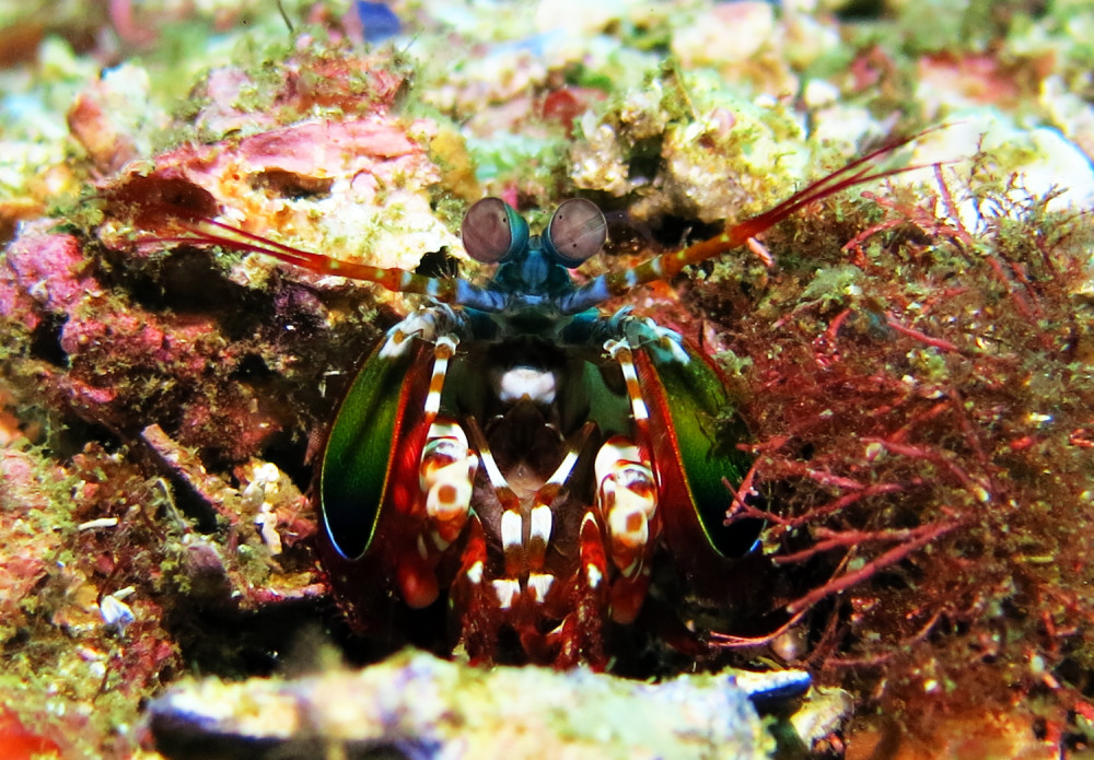 Mantis Shrimp at South Solitary Island 25 July 2015 by Jetty Dive