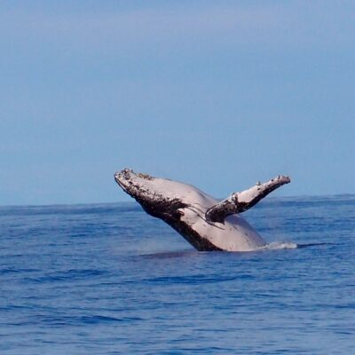 Whale watch - Whale jumping 2 July 2015
