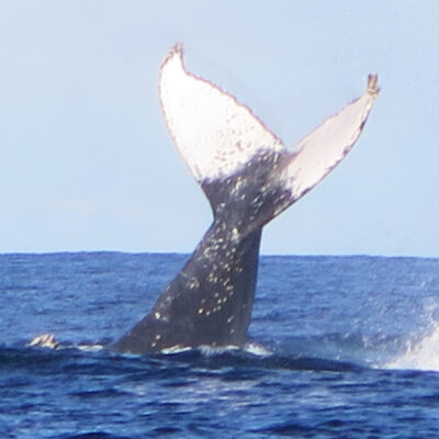 Whale Watch - whaletail 5 July 2015 by Jetty Dive