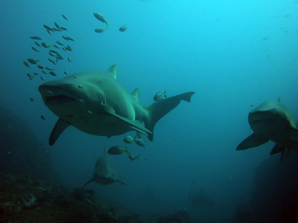 Grey Nurse Sharks - Manta Arch Dive Site 22 August 2015 by Jetty Dive