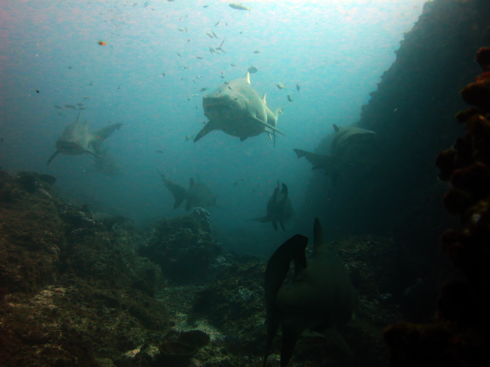 Grey Nurse Sharks - Manta Arch Dive Site, Solitary Islands by Jetty Dive