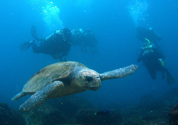 Barney the Loggerhead Turtle at South Solitary Island 1 August 2015 by Jetty Dive