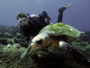 Loggerhead Turtle, Barney with diver by Jetty Dive