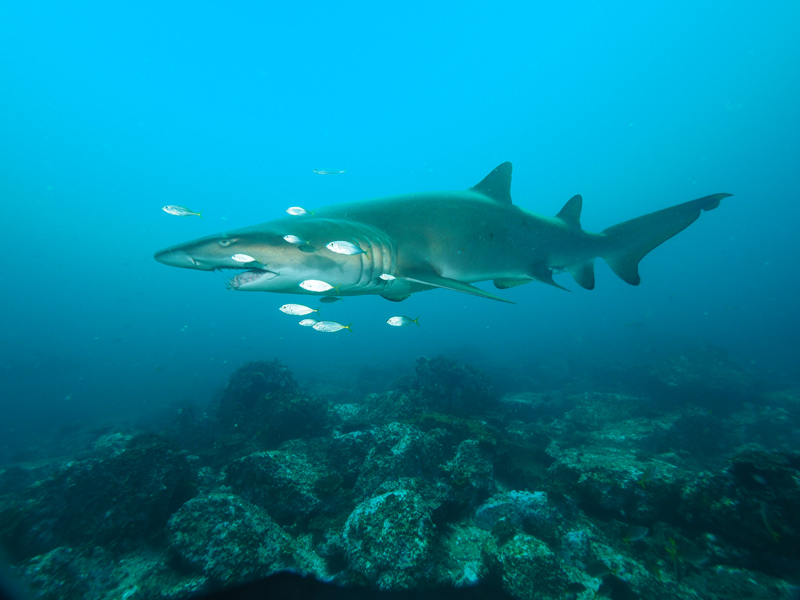 Grey Nurse Shark - South Solitary Island by Jetty Dive