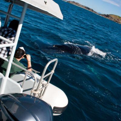5th September 2015 - Juvenile Humpback Whale Follows Boat!!!