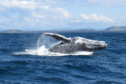 Humpback Whale off the Coffs Coast