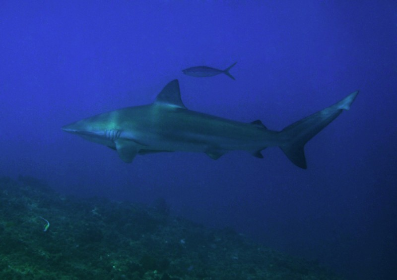 Dusky whaler shark, South Solitary Island 5 October 2015 by Jetty Dive
