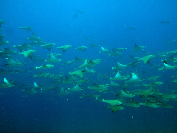Cow Rays at South Solitary