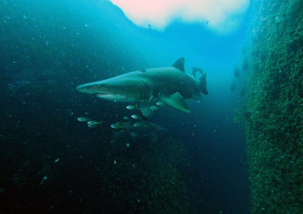 Grey Nurse at Shark Gutters