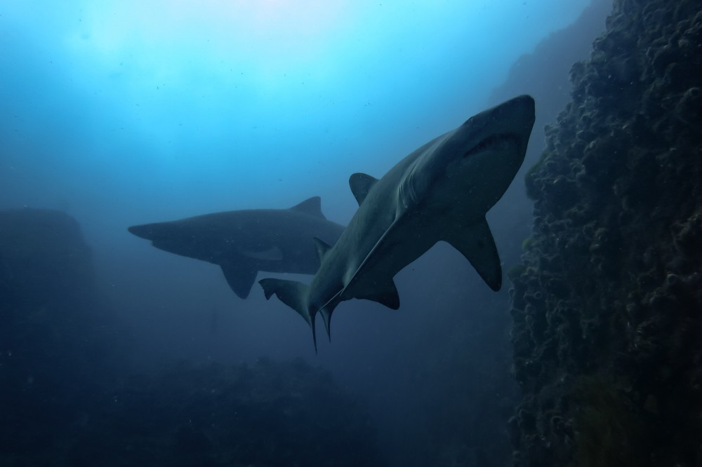Grey Nurse Shark-shark gutters