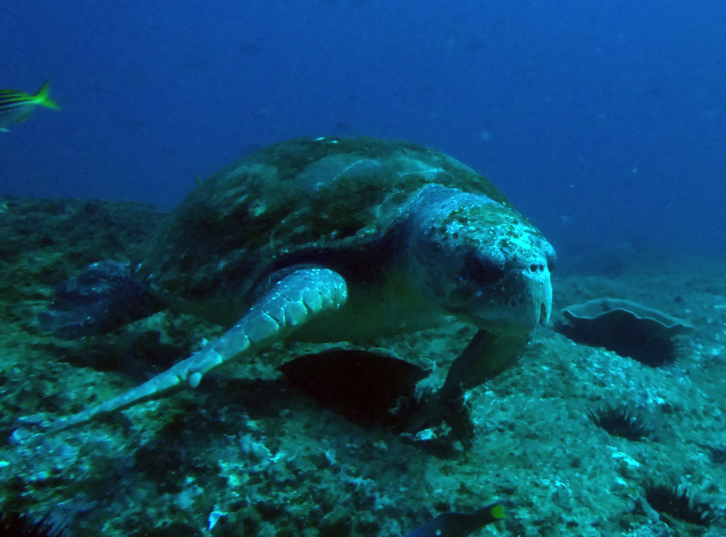 Barney the Loggerhead Turtle