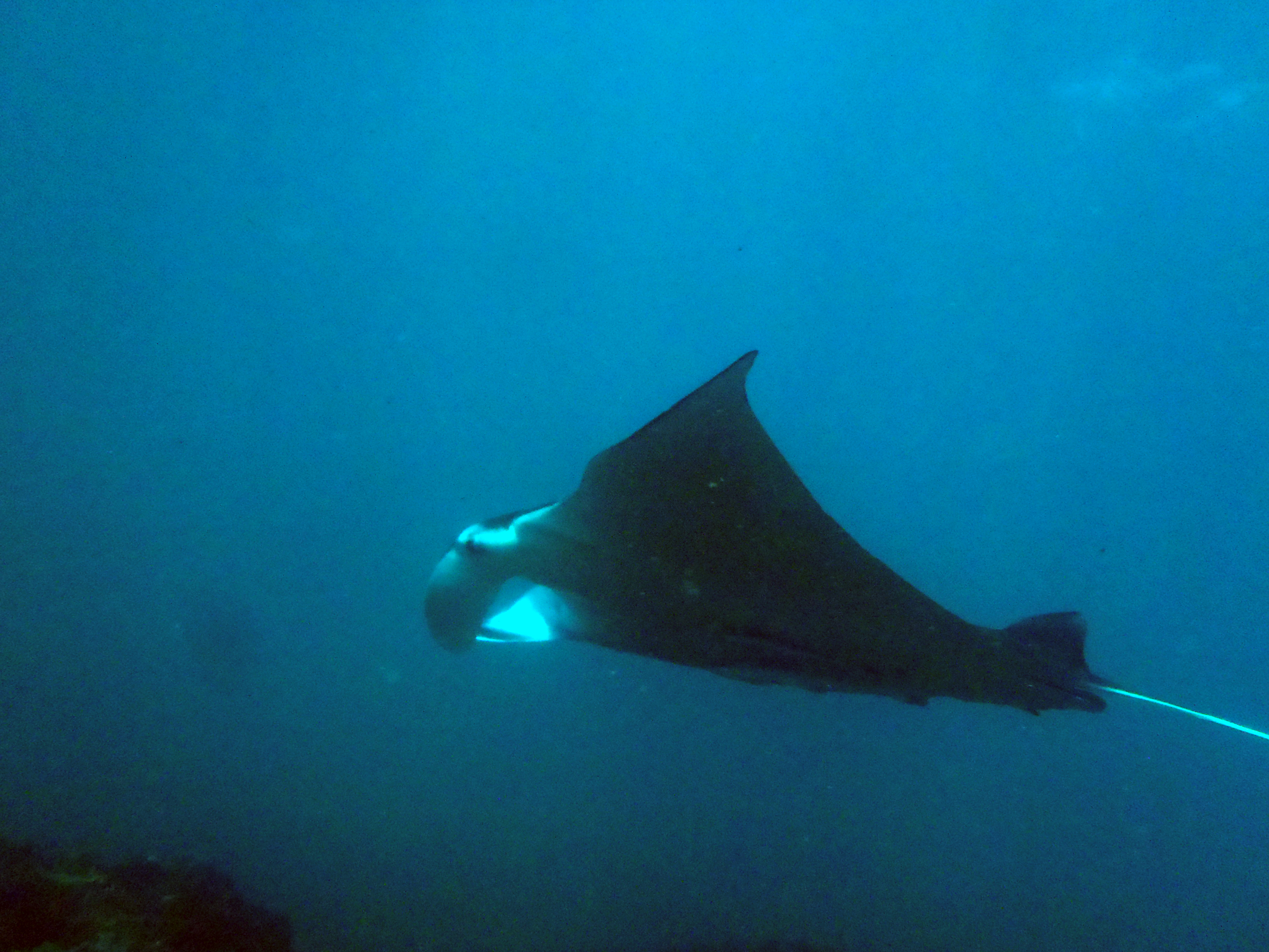Manta Ray at Split Solitary