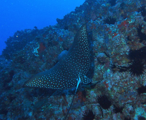 Eagle Ray at South Solitary Island