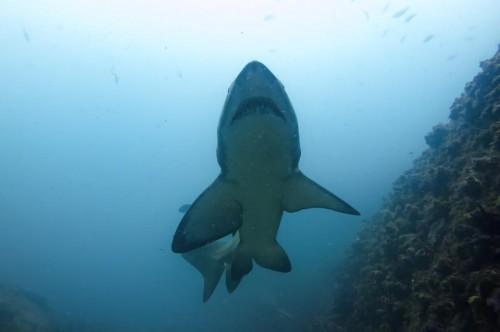 Grey Nurse Shark under