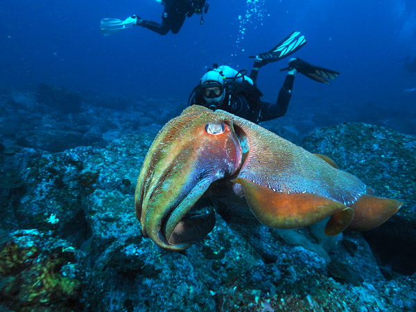 Cuttlefish at South Solitary island